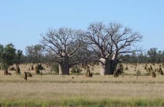 baobabs-de-derby