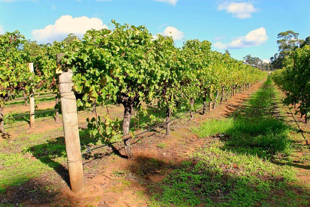Farmarbeit in Australien Wein