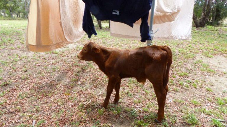 auf einer Rinderfarm in Australien arbeiten