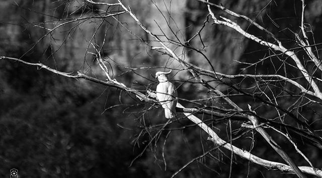 Blue mountains sydney bird