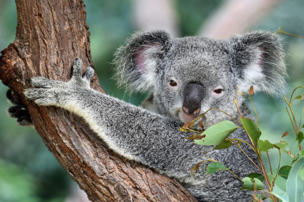 Port Macquarie Koala