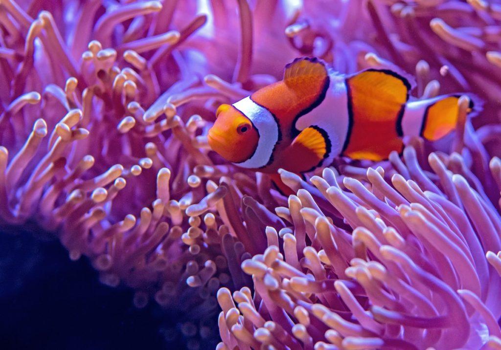 Clown fisch great barrier reef