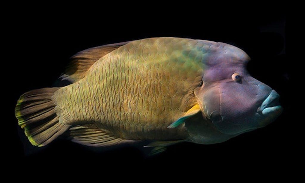Napoleon-Lippfisch