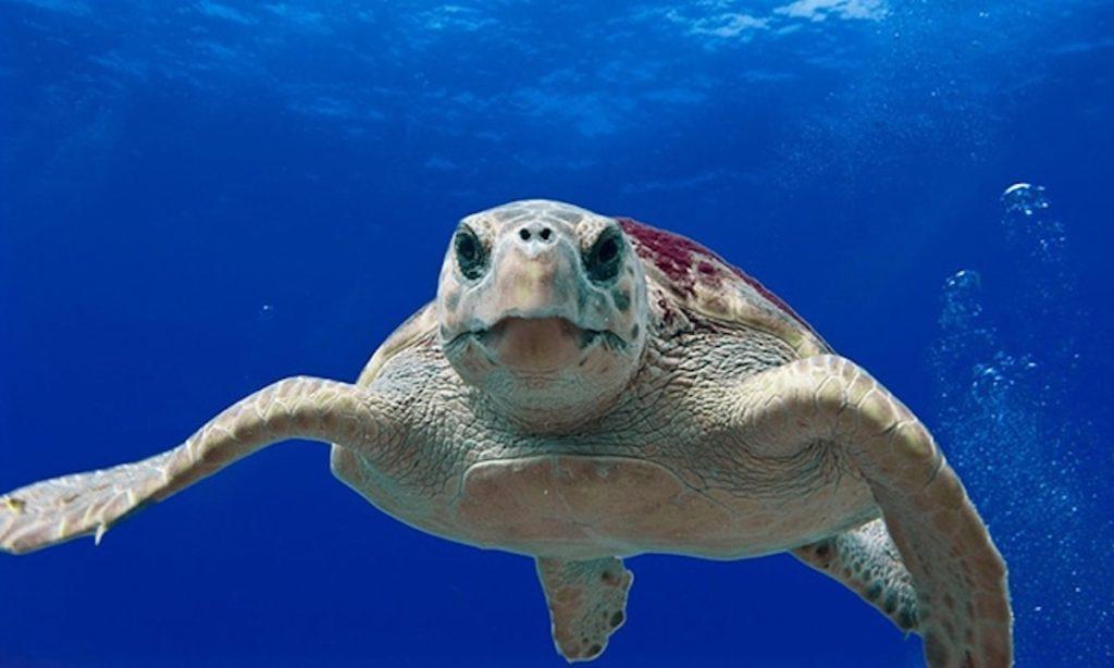 Schildkröte australien